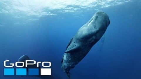 GoPro VR: Diving with Sperm Whales in Mauritius | GoPro